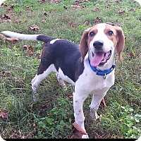 Beagle/Basset Hound Mix Puppy for adoption in Richmond, Virginia - Otis