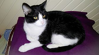 Domestic Shorthair Cat for adoption in White Settlement, Texas - Macy's Silver