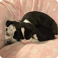 Adopt A Pet :: Blossom(Braylee pup 2) - Wenonah, NJ