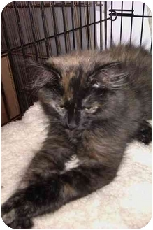 Calico Kitten for adoption in Little Falls, New Jersey - Athea (KL)