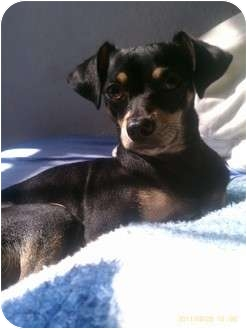 Miniature Pinscher/Terrier (Unknown Type, Small) Mix Dog for adoption in Los Angeles, California - Mosos