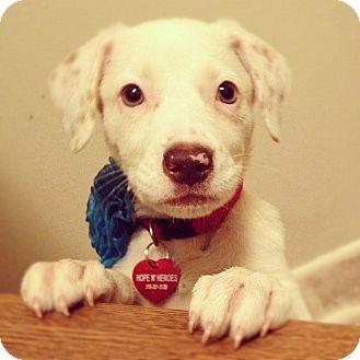 Labrador Retriever/Australian Cattle Dog Mix Puppy for adoption in Torrance, California - Blondie