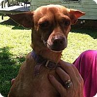 Adopt A Pet :: Trixie - Catharpin, VA