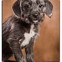 Adopt A Pet :: Charles - Owensboro, KY