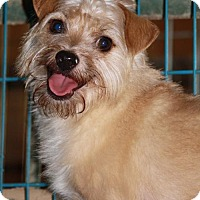 Yorkie, Yorkshire Terrier/Chihuahua Mix Dog for adoption in Lone Oak, Texas - Harley