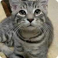 Adopt A Pet :: Christian Grey - New Egypt, NJ
