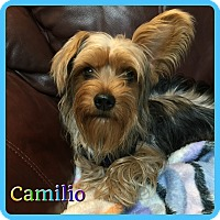 Adopt A Pet :: Camilio - Hollywood, FL