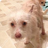 Adopt A Pet :: Bowie - Gilbert, AZ