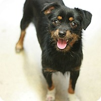 Adopt A Pet :: Pretty GIrl - Canoga Park, CA