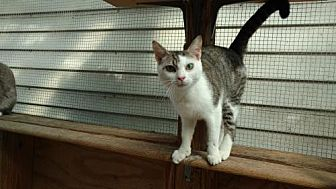 American Shorthair Cat for adoption in Land O Lakes, Florida - Tanner