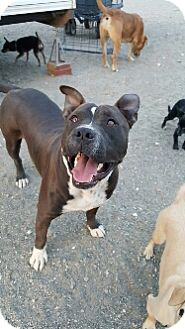 American Staffordshire Terrier Mix Puppy for adoption in Phelan, California - Nike