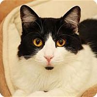 Domestic Mediumhair Cat for adoption in Lincoln, California - Kit