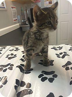 Domestic Shorthair Kitten for adoption in St. Louis, Missouri - Scott