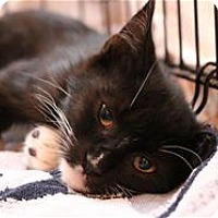 Adopt A Pet :: Sequoia - Lincoln, CA