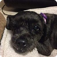 Adopt A Pet :: Olive - Windermere, FL