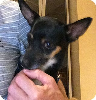 Chihuahua/Miniature Pinscher Mix Dog for adoption in Oakland, Florida - Brutus