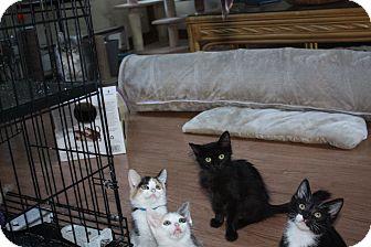 Domestic Longhair Kitten for adoption in St. Louis, Missouri - Teena