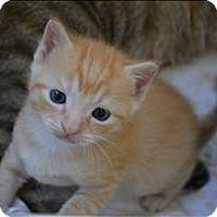 Domestic Shorthair Kitten for adoption in Sherwood, Oregon - Keziah K2 Aka Grandi