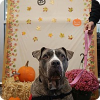 Pit Bull Terrier Mix Dog for adoption in Jackson, New Jersey - Cece