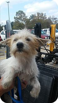 Cairn Terrier Mix Dog for adoption in Spring, Texas - Jessie