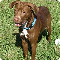 Labrador Retriever Mix Dog for adoption in Elizabeth City, North Carolina - Taz