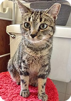 Domestic Shorthair Cat for adoption in Brooklyn, New York - Allie the Amazing