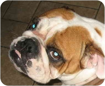 English Bulldog Dog for adoption in San Diego, California - Petunia-Adoption Pending