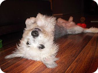 Schnauzer (Miniature)/Poodle (Miniature) Mix Puppy for adoption in Mooy, Alabama - Buddy