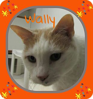 Domestic Shorthair Cat for adoption in Princeton, West Virginia - Wally