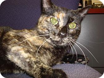 Domestic Shorthair Cat for adoption in Miami, Florida - Simba