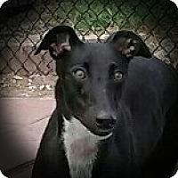 Adopt A Pet :: Fuzzy's Penelope - Longwood, FL