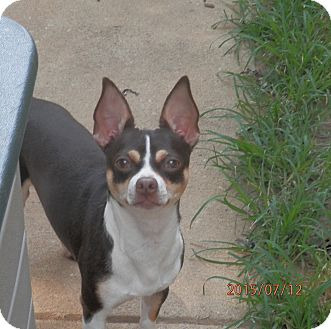 Chihuahua Dog for adoption in Clarksville, Tennessee - Jerry-Lee