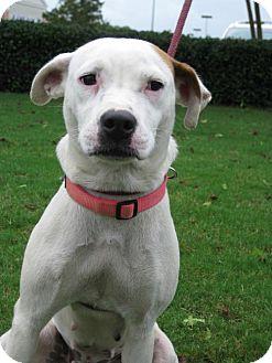 American Bulldog Mix Dog for adoption in Blairsville, Georgia - Libby