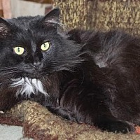 Domestic Longhair Cat for adoption in Morehead, Kentucky - Wookie ADULT MALE