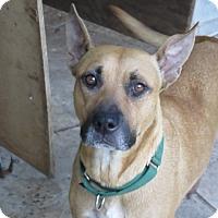 Adopt A Pet :: Lady Olivia!  Service Dog! - St Petersburg, FL