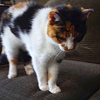 Calico Cat for adoption in Oberlin, Ohio - Roxie