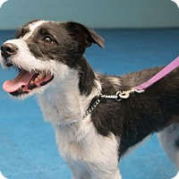 Border Collie/Jack Russell Terrier Mix Dog for adoption in Chambersburg, Pennsylvania - Wilbur