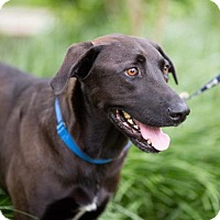 Labrador Retriever Dog for adoption in West Orange, New Jersey - Smokey