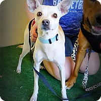Whippet Mix Dog for adoption in Casa Grande, Arizona - Chica