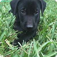Adopt A Pet :: Midnight - Homestead, FL