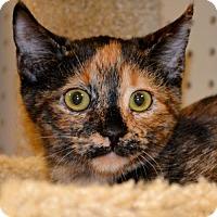 Domestic Shorthair Kitten for adoption in Horn Lake, Mississippi - Daisy