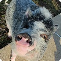Adopt A Pet :: Piggie Smalls (COURTESY POST) - Baltimore, MD