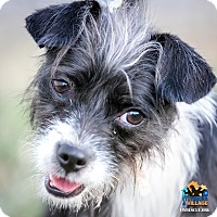 Terrier (Unknown Type, Small) Mix Dog for adoption in Evansville, Indiana - Cordilla