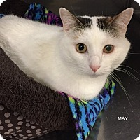 Domestic Shorthair Cat for adoption in Hibbing, Minnesota - MAY