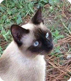 Siamese Kitten for adoption in Germantown, Maryland - Bopeep