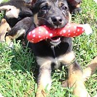Adopt A Pet :: Josh - Mocksville, NC