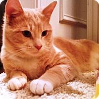 Domestic Shorthair Cat for adoption in Charlotte, North Carolina - Flash