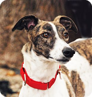 Greyhound Dog for adoption in Ware, Massachusetts - India