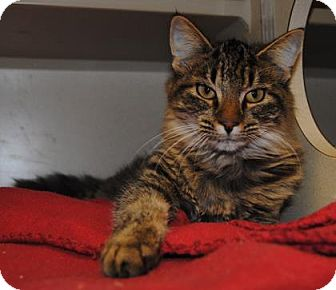 Domestic Mediumhair Cat for adoption in Ridgeland, South Carolina - Kenya