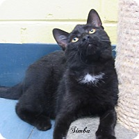 Domestic Shorthair Cat for adoption in Jackson, New Jersey - Simba